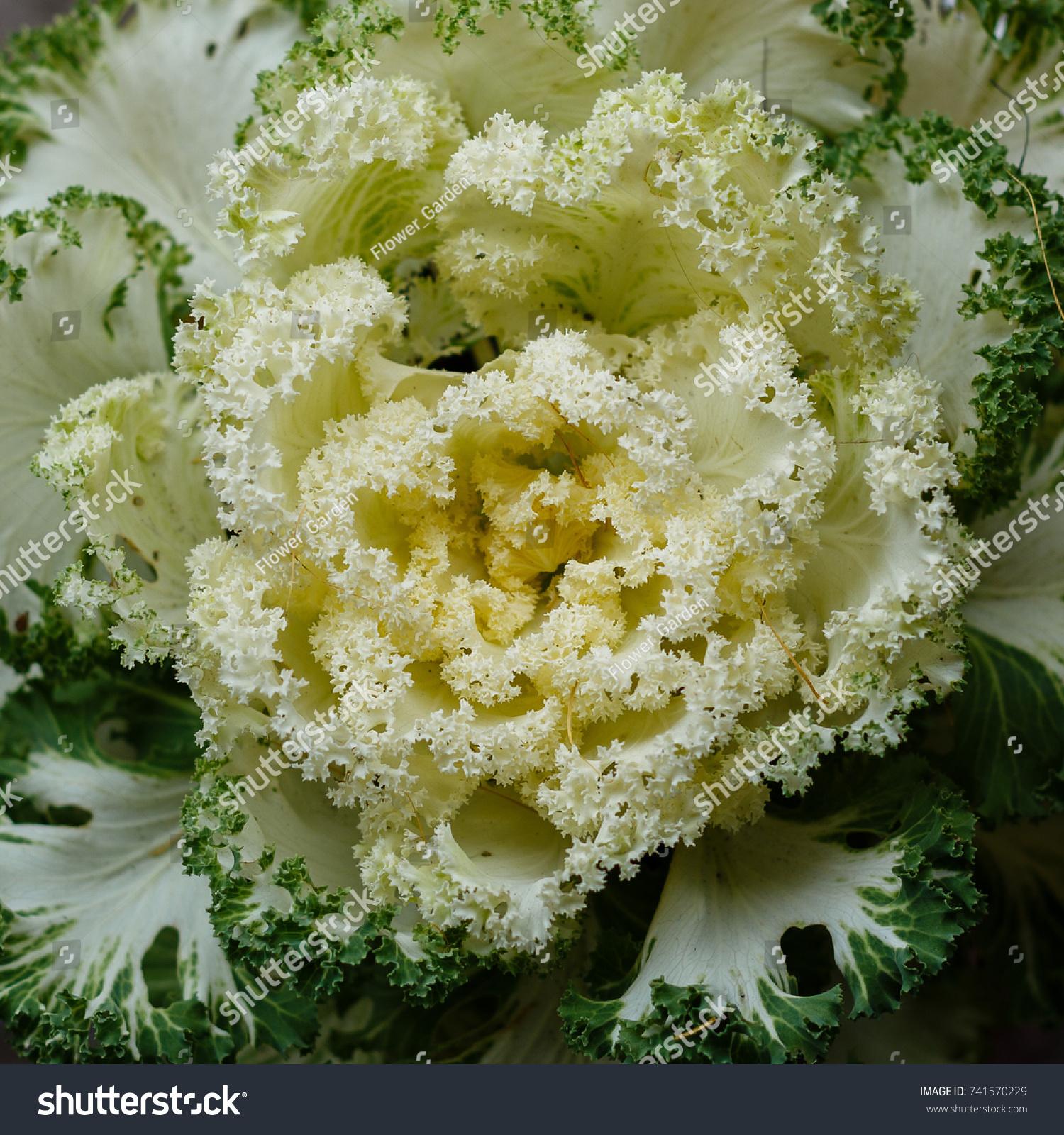 Fresh White Cabbage Brassica Oleracea Plant Stock Photo Edit Now