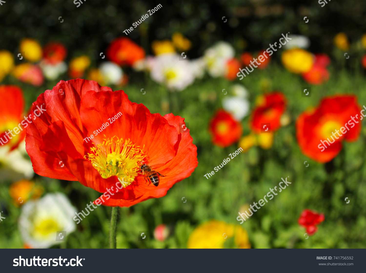 Red Yellow White Poppy Flowers Bumble Stock Photo Royalty Free