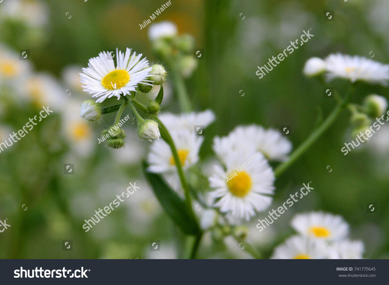 Eastern Daisy Fleabane White Top Herbaceous Stock Photo Edit Now