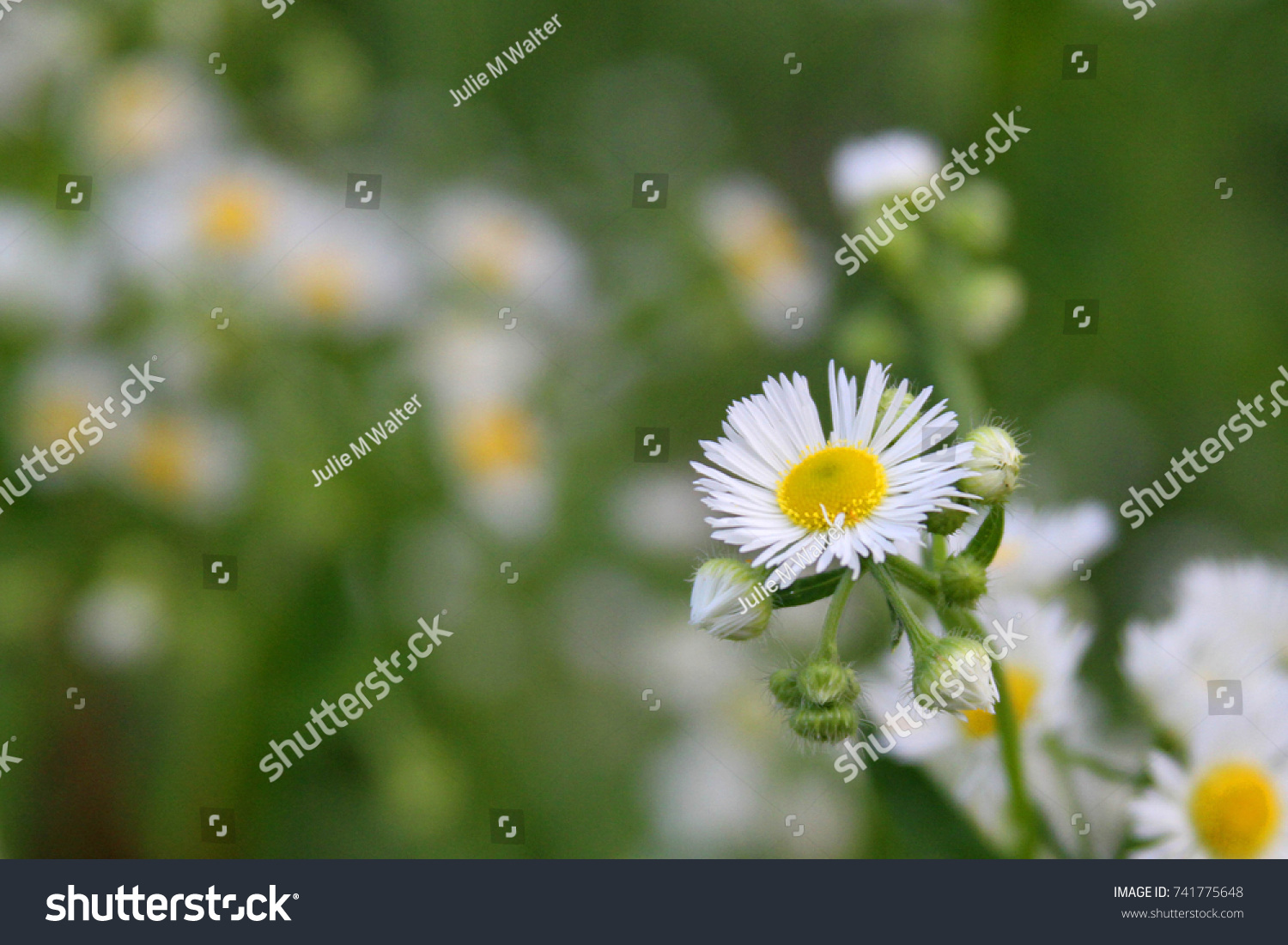 Eastern daisy fleabane white top herbaceous stock photo edit now eastern daisy fleabane white top is a herbaceous plant meaning exorcism protection and izmirmasajfo