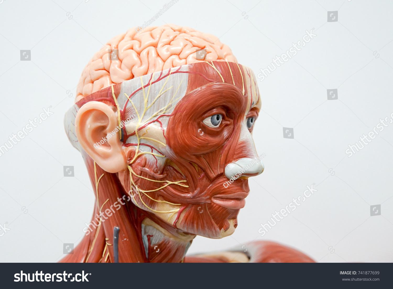 Human Head Anatomy Model Education Stock Photo Edit Now 741877699