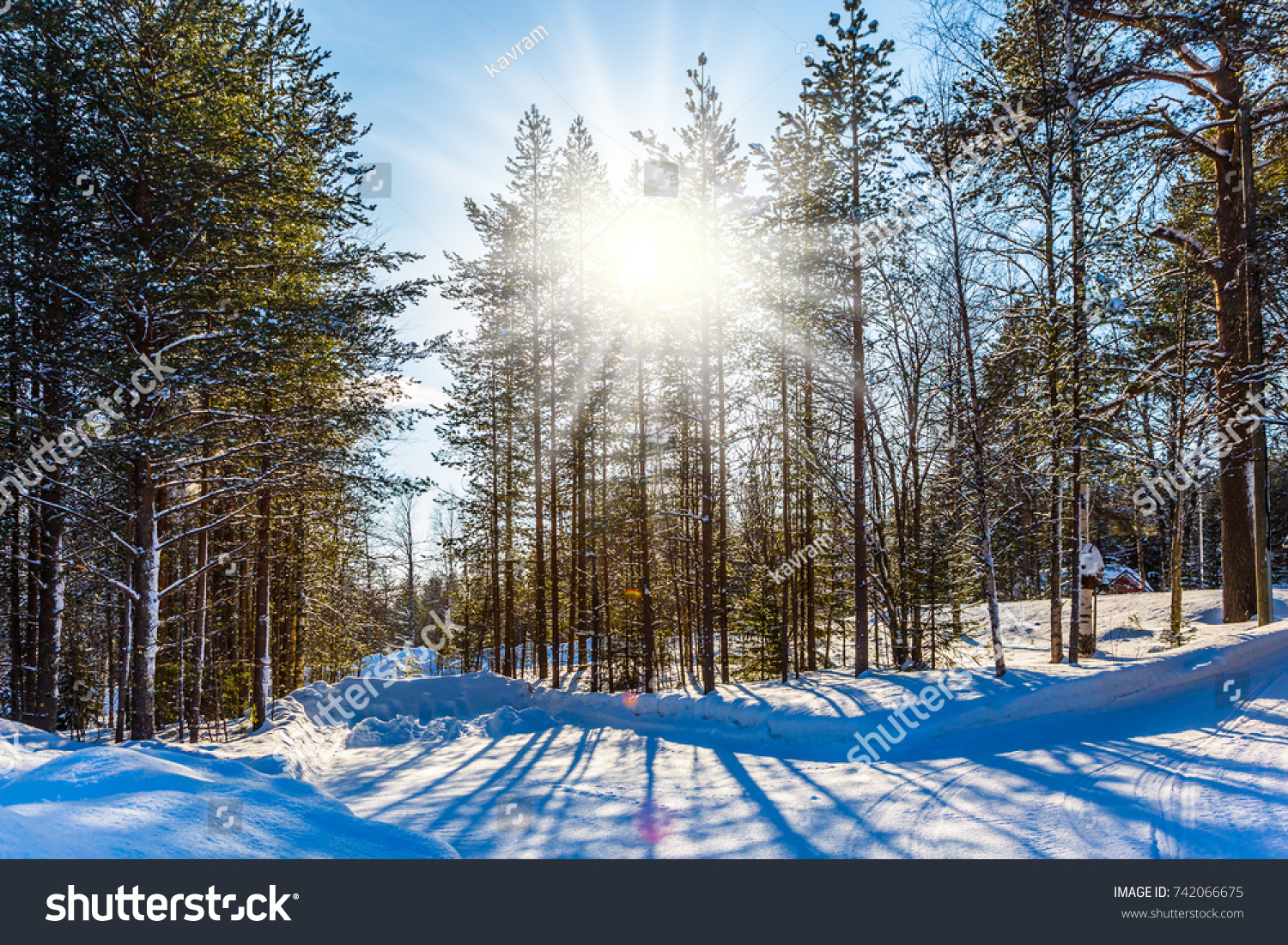 snowy evening pine forest arctic circle stock photo edit now