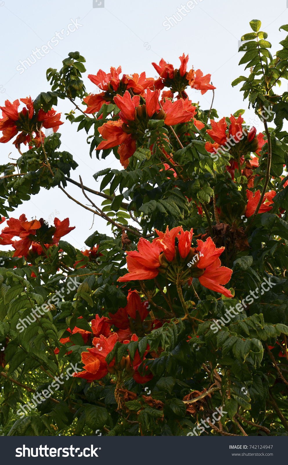 African Tulip Tree (Spathodea campanulata) with red flowers in ...