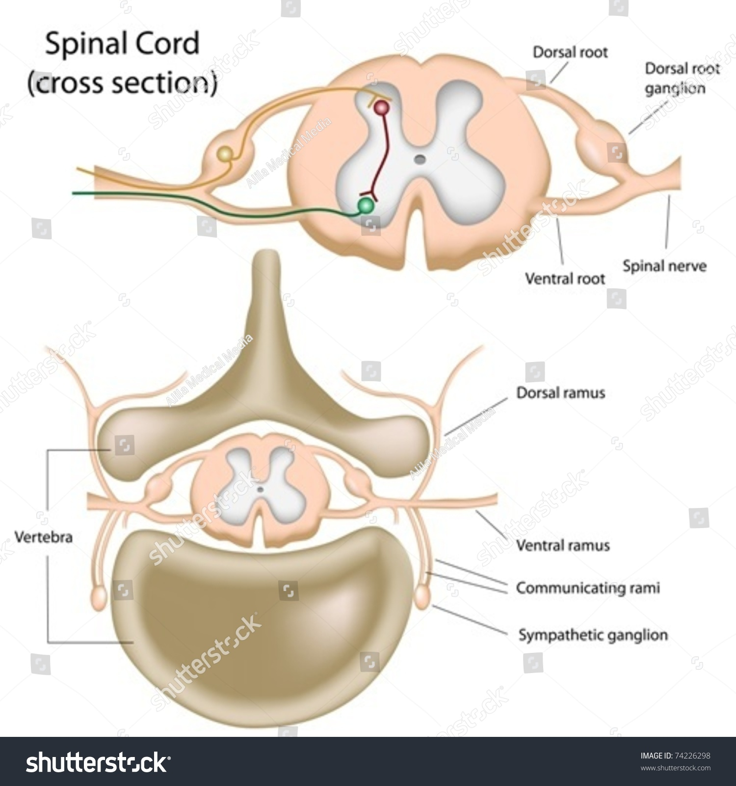 Cross Section Spinal Cord Stock Vector 74226298 - Shutterstock