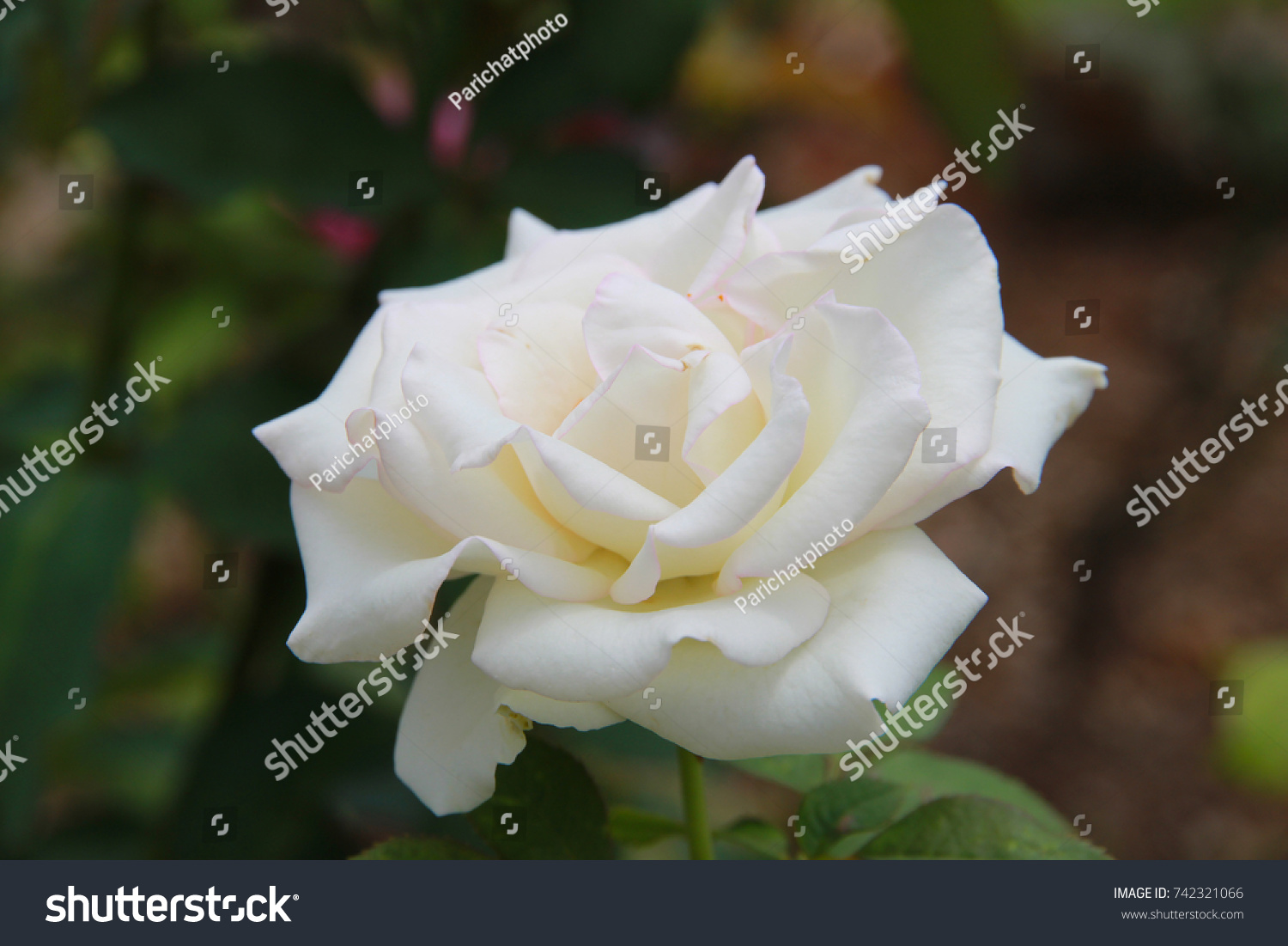 White Rose In The Garden Natural Beauty And A Symbol Of Purity Ez