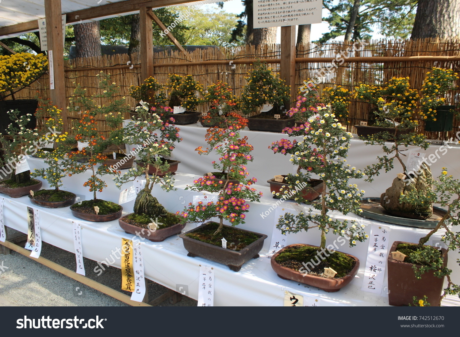 Chrysanthemum Festival On Public Display Odawara Stock Photo ...