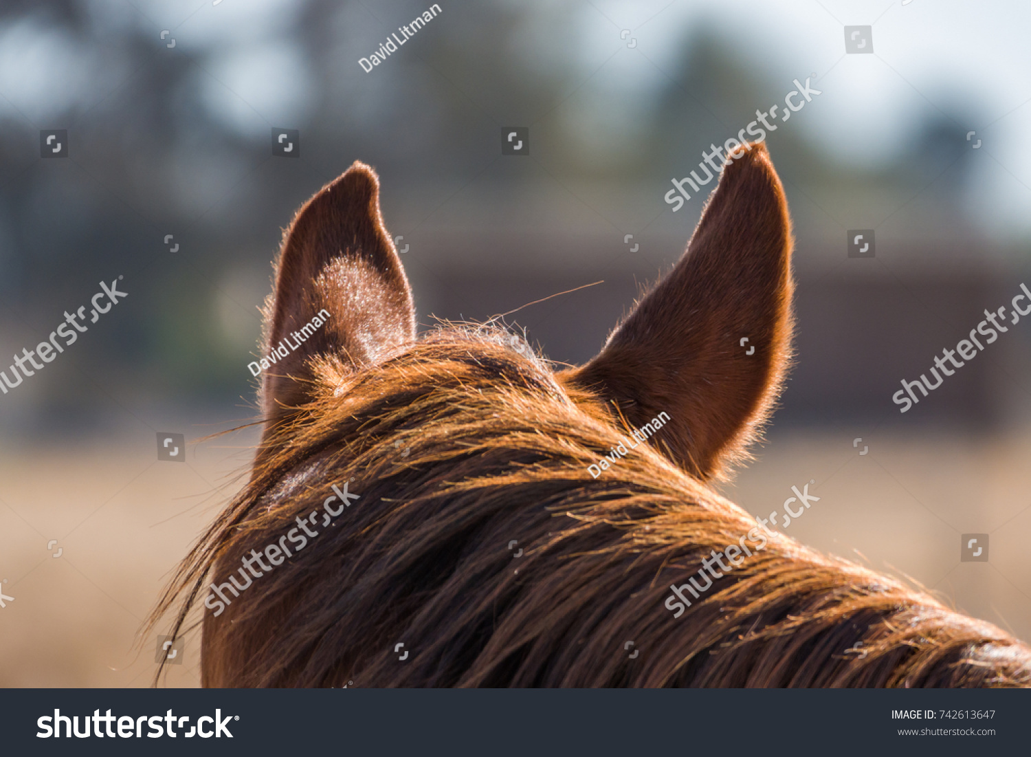 View of a horse from behind with close up of mane and ears.