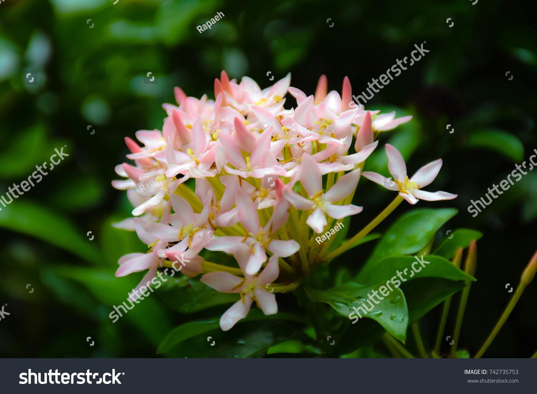 Ixora Flower White Pink Spike Flower King Stock Photo Royalty Free
