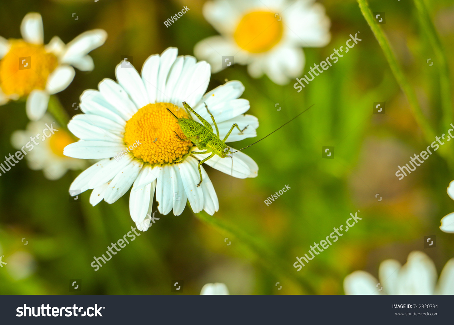 Grasshopper On Flower Daisies Bellis Perennis Stock Photo Royalty