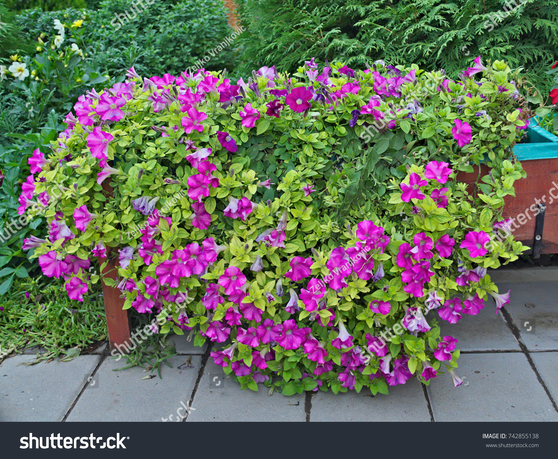 Abundance Plants Purple Flowers Big Pot Stock Photo Edit Now