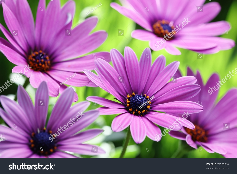 Purple Daisy Flower Stock Photo Edit Now 74290936 Shutterstock