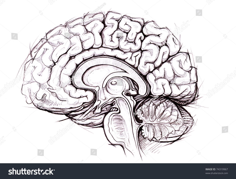Human Brain Sagittal View Medical Sketchy Stock Illustration