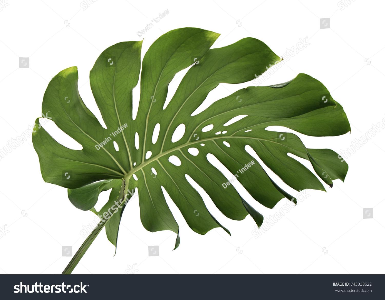 Monstera Deliciosa Leaf Swiss Cheese Plant Editar Agora Foto Stock 743338522