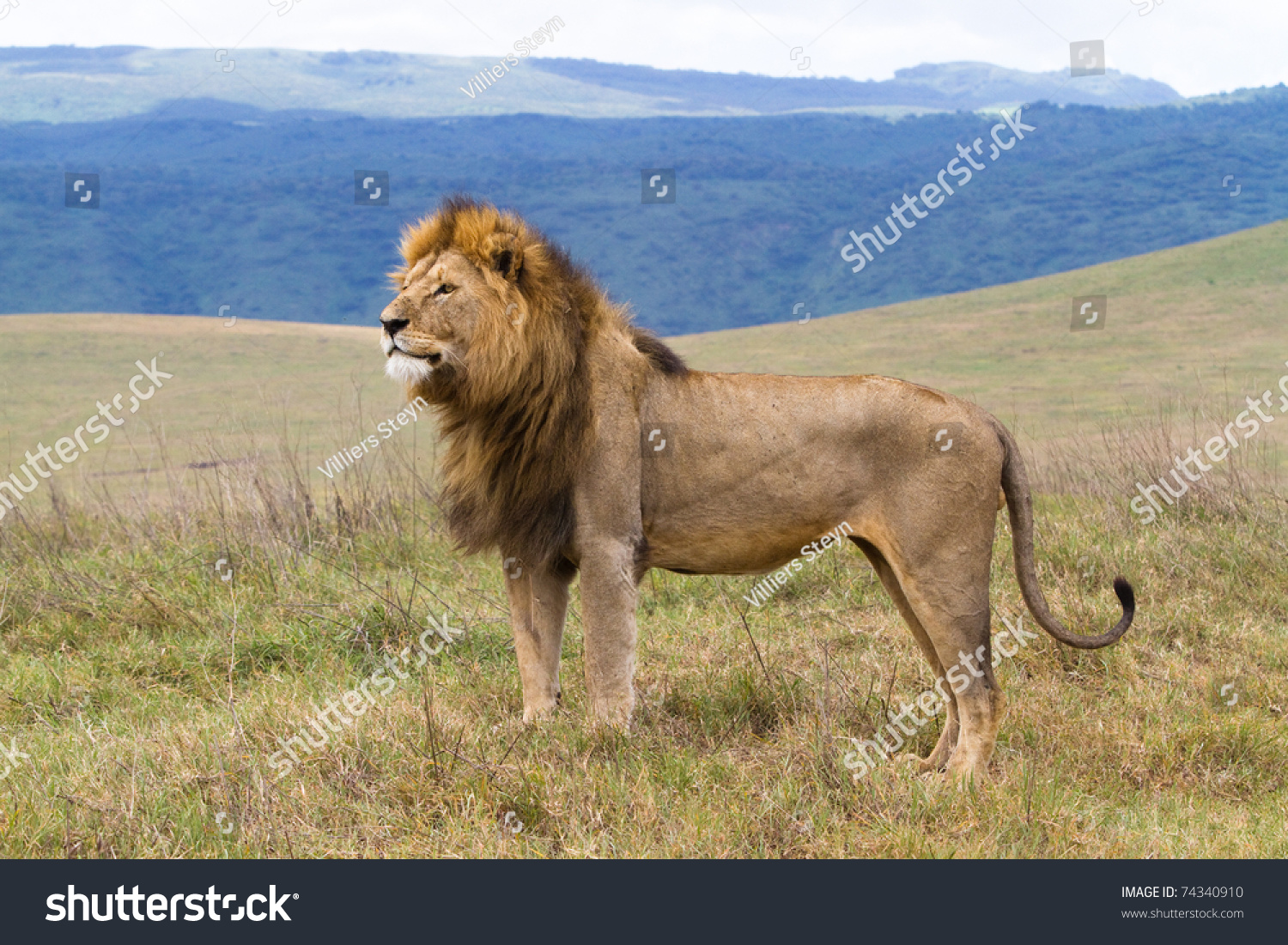 BOA_0075 - male lion standing - Photograph at ...