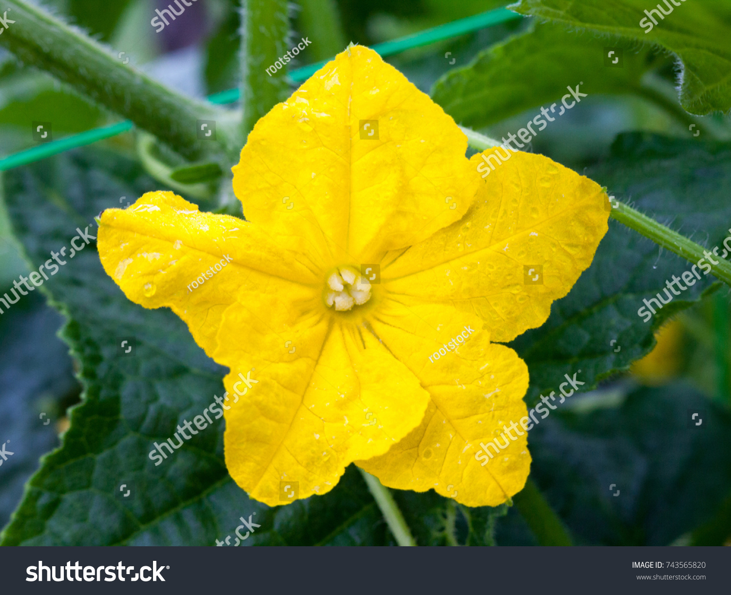 Cucumber Yellow Flower On The Cucumber Plant In The Vegetable Garden
