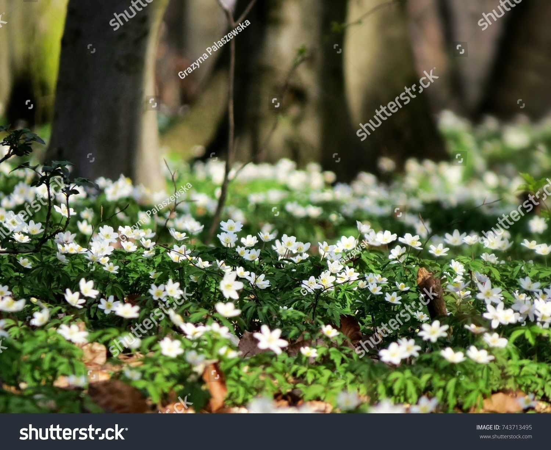 Anemone Nemorosa Earlyspring Flowering Plant Wood Stock Photo