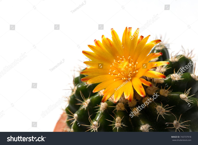 Yellow Flower Parodia Cactus Cactus Desert Stock Photo Edit Now