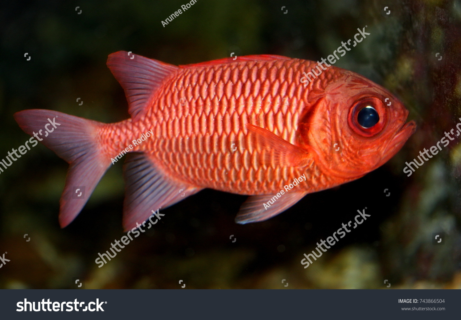 Colorful Ornamental Marine Fish Big Eye Stock Photo (Royalty Free ...