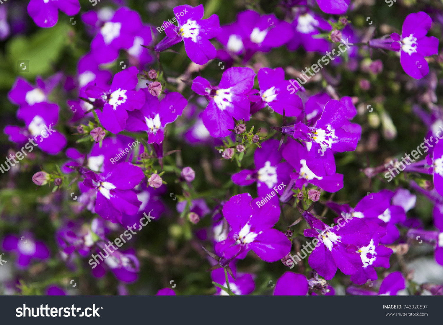 Beautiful purple flowers white color middle stock photo edit now beautiful purple flowers with white color in middle of close up izmirmasajfo