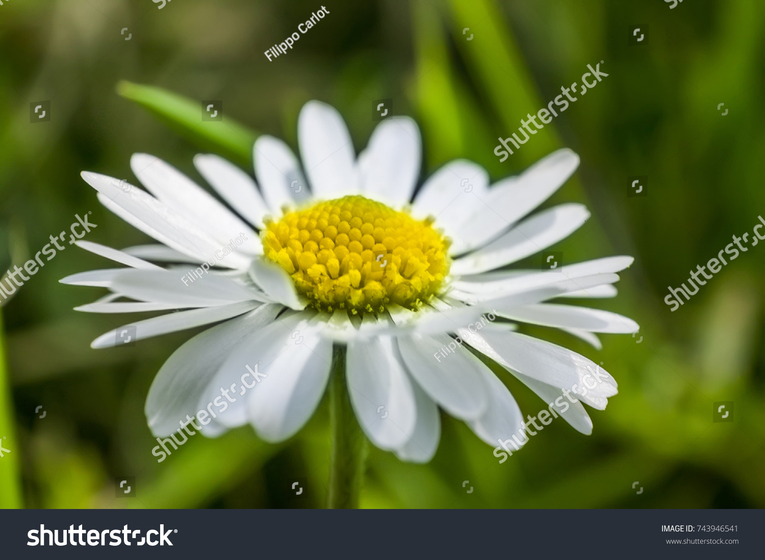 Enlarged Section Daisy Flower Explosion Color Stock Photo Edit Now