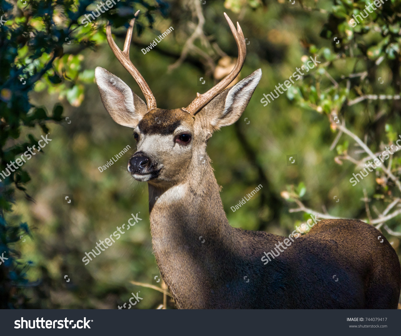 stock-photo-a-columbian-black-tailed-deer-buck-odocoileus-hemionus-peeks-its-head-out-from-a-shaded-coastal-744079417.jpg