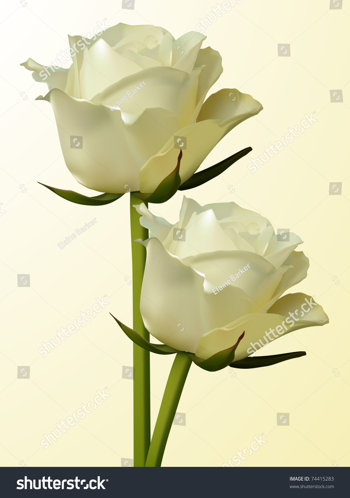 two ivory coloured roses on cream stock illustration 74415283