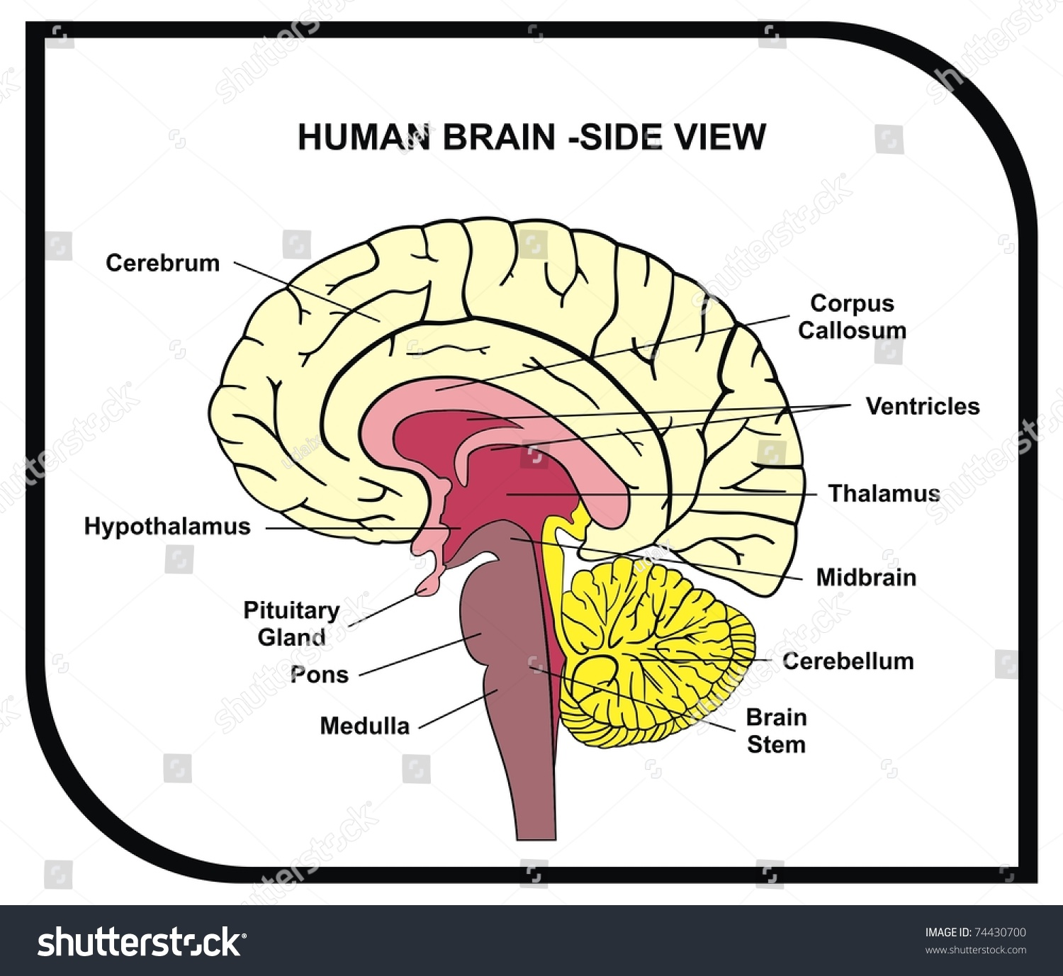 vector human brain diagram side view stock vector (royalty free