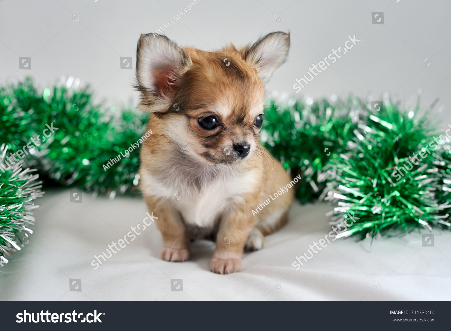 Cute Tiny Longhaired Chihuahua Puppy Christmas Stock Photo Edit Now 744330400