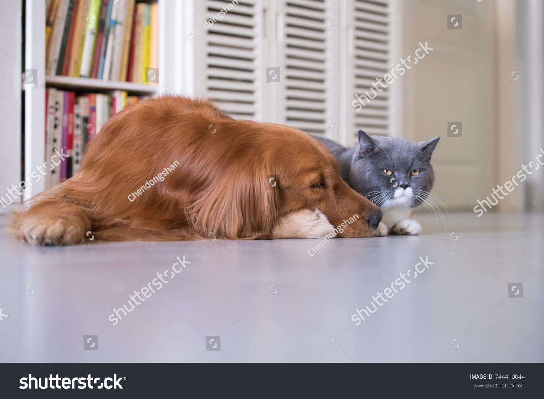 British Shorthair Cats Golden Retriever Stock Photo (Edit