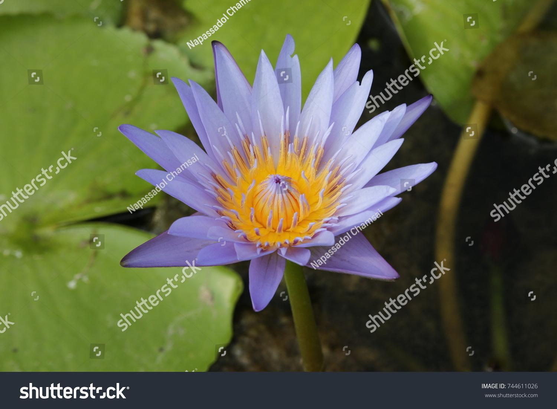 Blue lotus flower ez canvas mightylinksfo