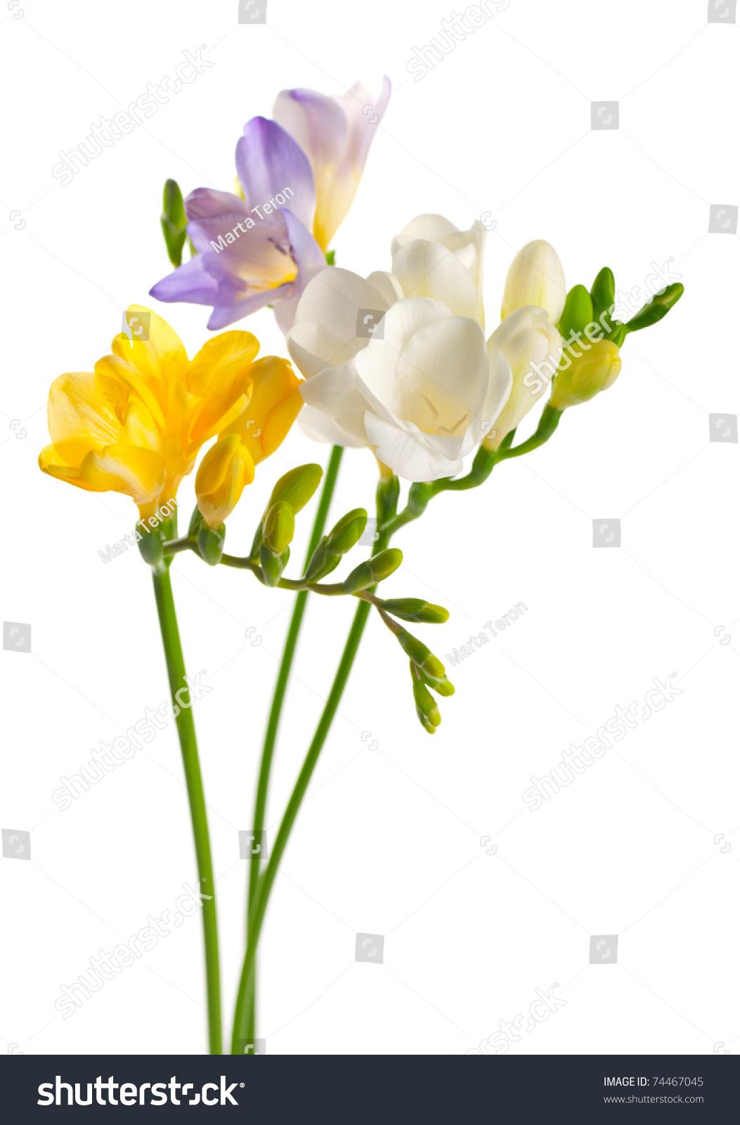 White Yellow Purple Freesia Flowers Stock Photo Edit Now 74467045