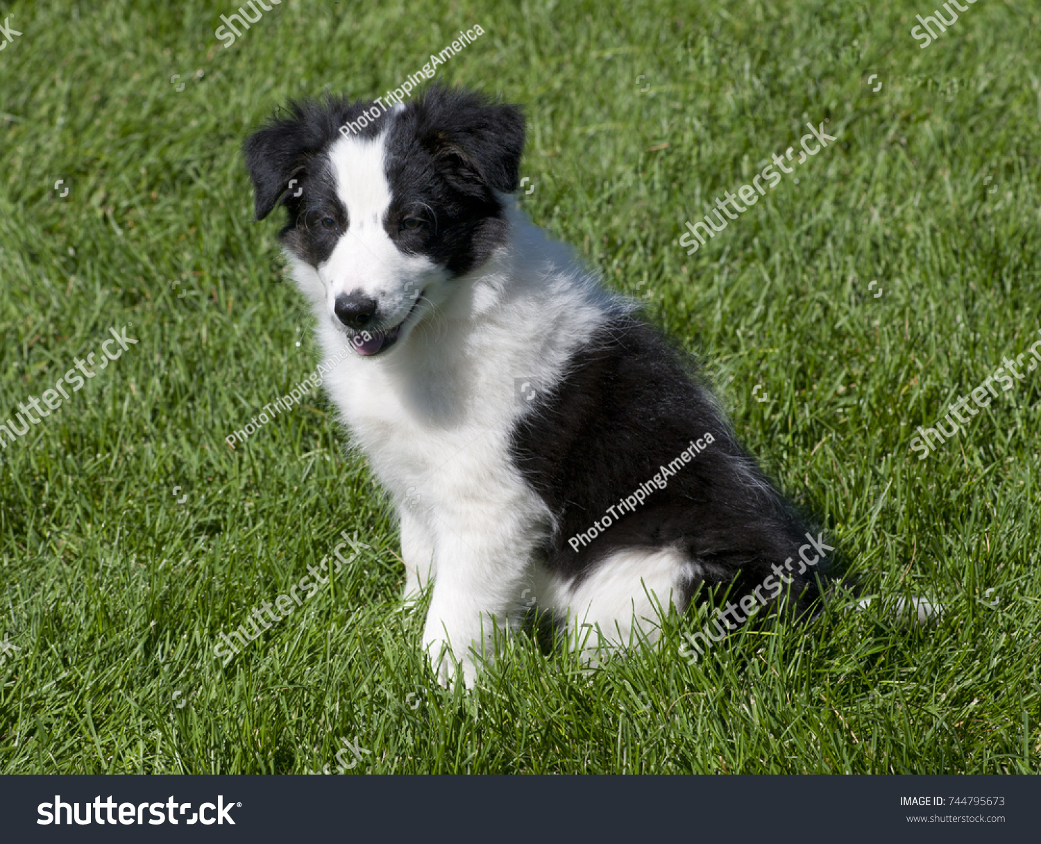 Black and white border collie puppies