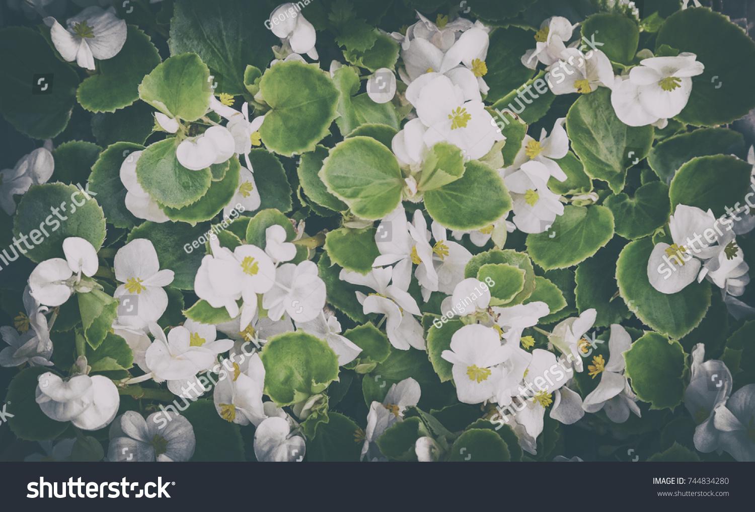 Delicate White Flowers Of Small Size Among The Green Leaves Blooming