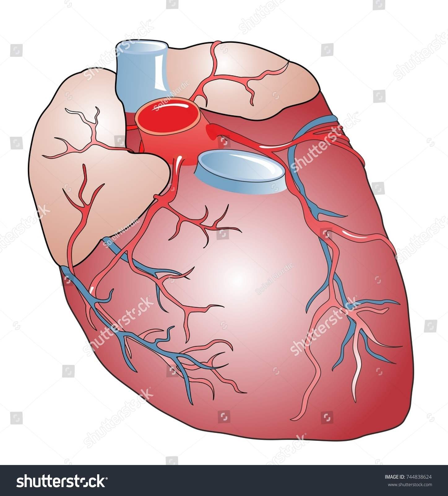 Anatomy Healthy Human Heart Heart Muscular Stock Illustration