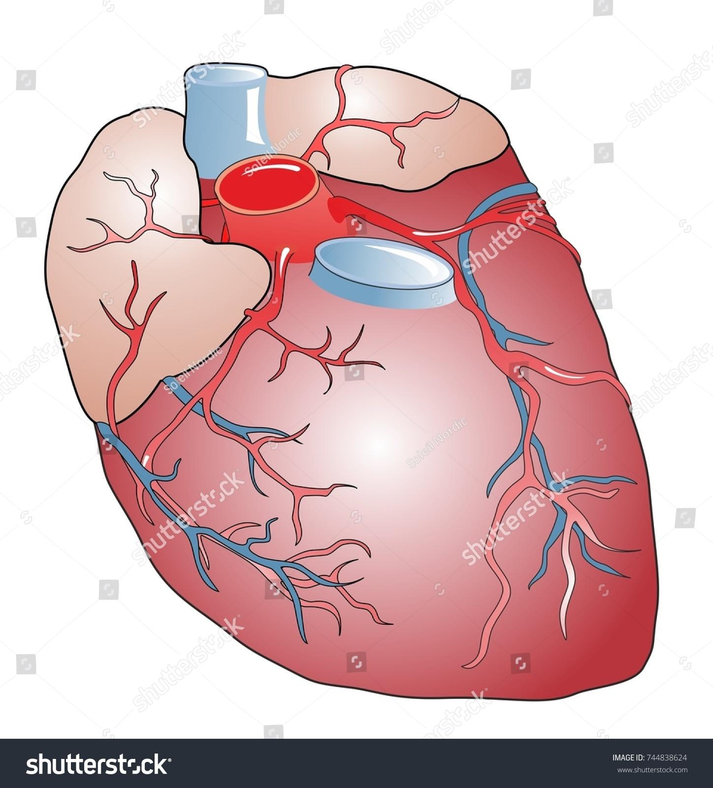 Anatomy Healthy Human Heart Heart Muscular Stock Illustration