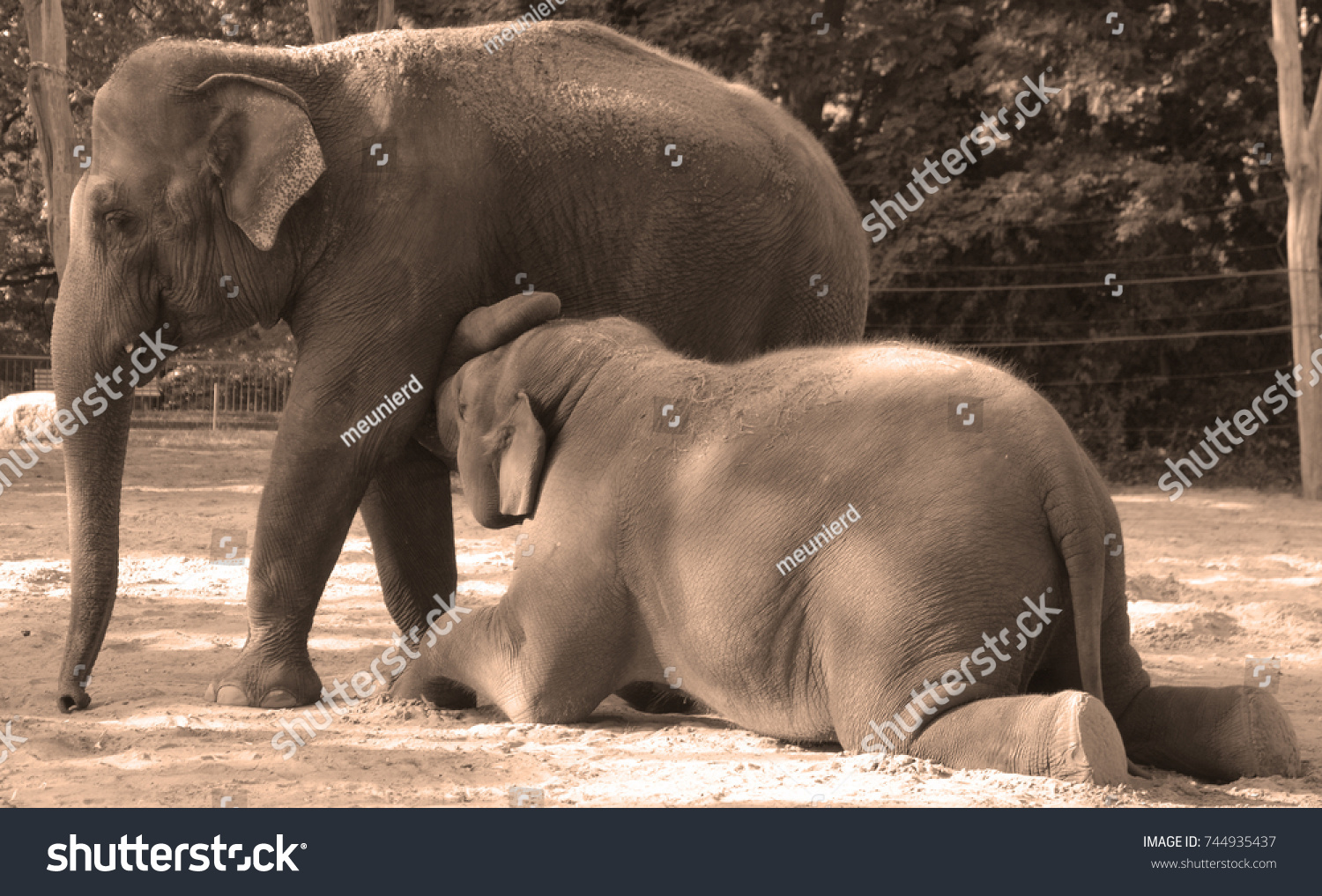 Breast baby elephant. There is no creation 55