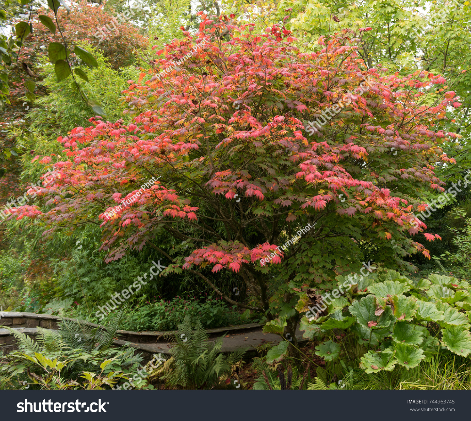Autumnal Colours Acer Japonicum Vitifolium Downy Stock Photo (100 ...