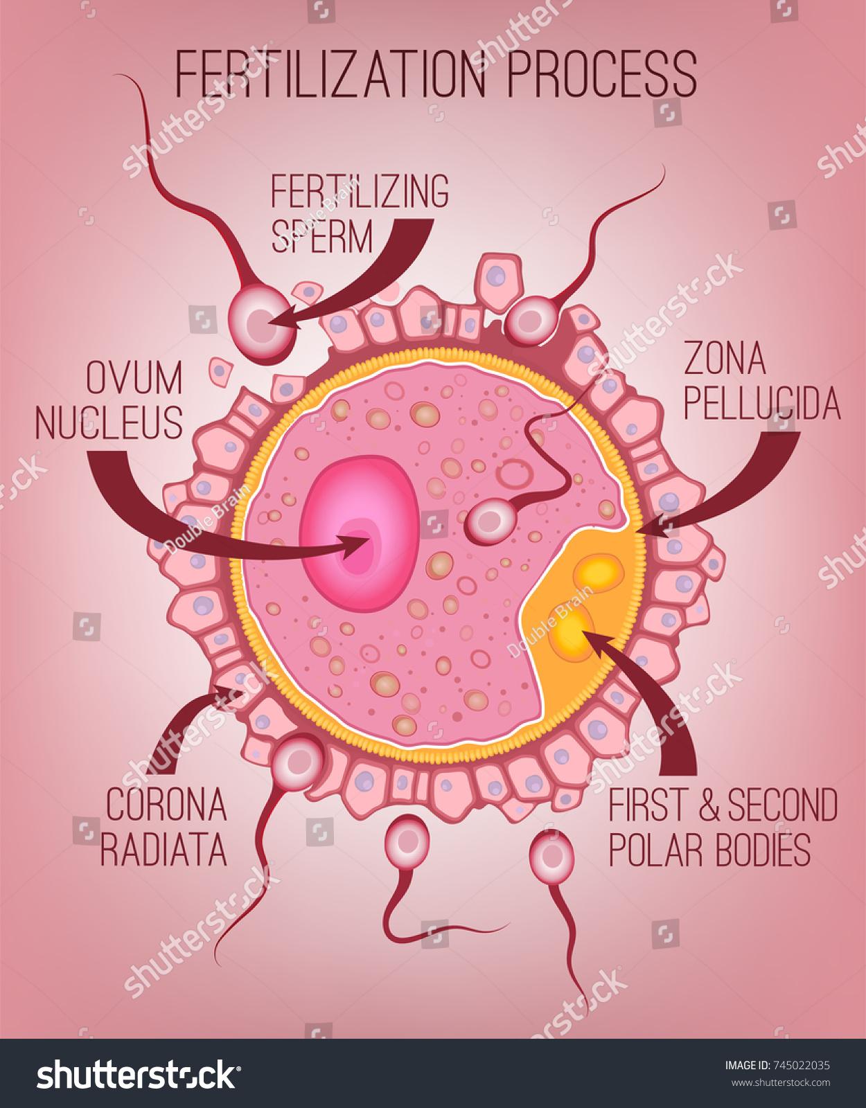 Ovum Structure Cytoplasm Nucleus Corona Radiata Stock Vector ...