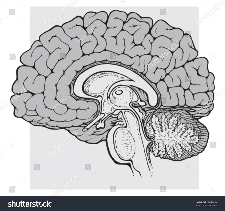 Human Brain Sagittal View Medical Schematic Stock Vector 74522362 ...