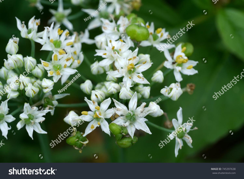 Chinese chives allium tuberosum flower ez canvas id 745397638 izmirmasajfo