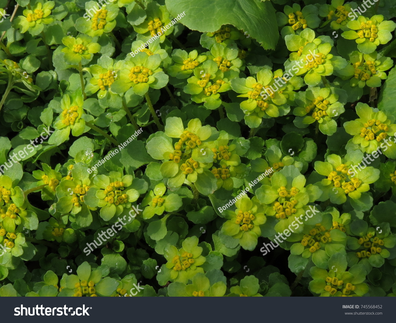 Bushes Spring Plants Yellow Tops Chrysosplenium Stock Photo Edit