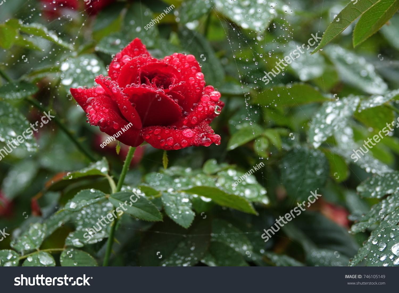 Red Rose Cobweb Raindrops Charming Color Stock Photo (Royalty Free ...