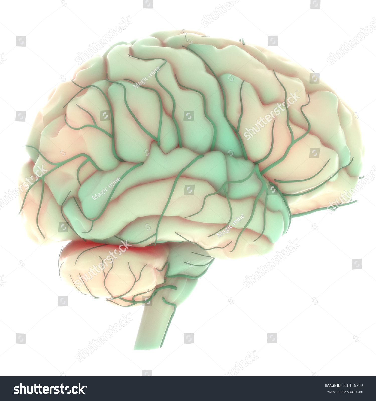 Human Brain Nervous System Anatomy 3 D Stock Illustration 746146729 ...