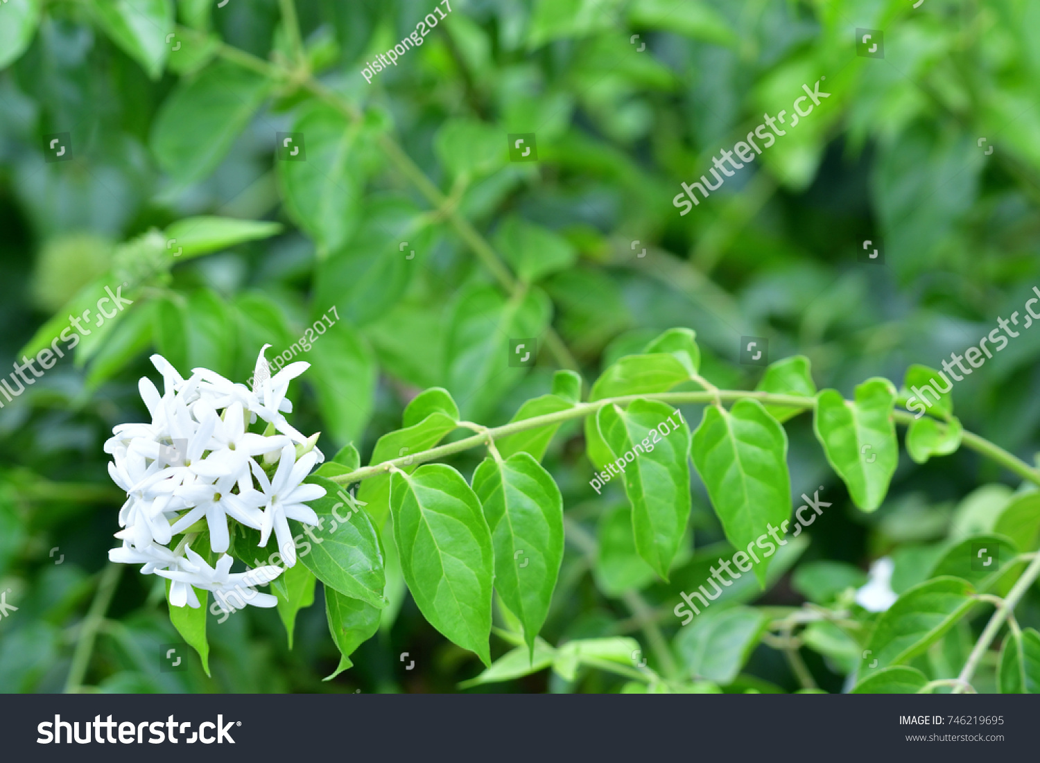 Jasminum multiflorum star jasmine angelhair jasmine stock photo jasminum multiflorum star jasmine angel hair jasmine showing small white flowers mightylinksfo