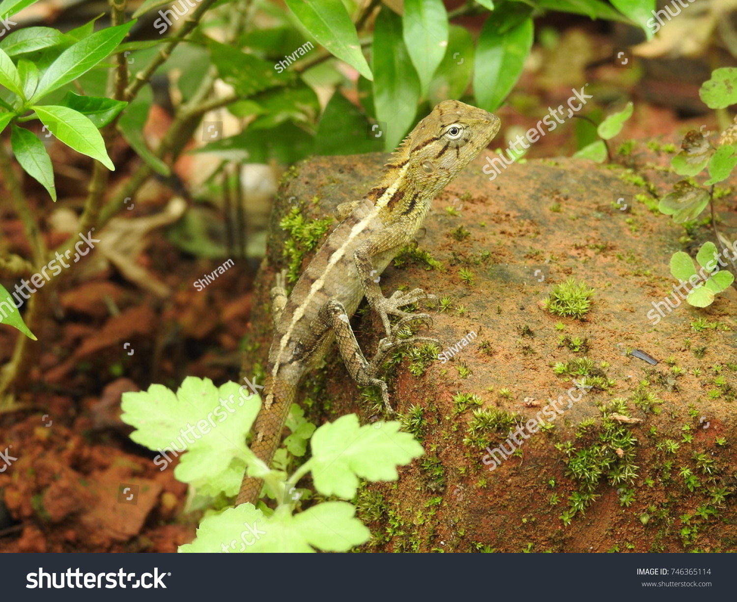 Oriental Garden Lizard Calotes Versicolor Stock Photo (Royalty Free ...