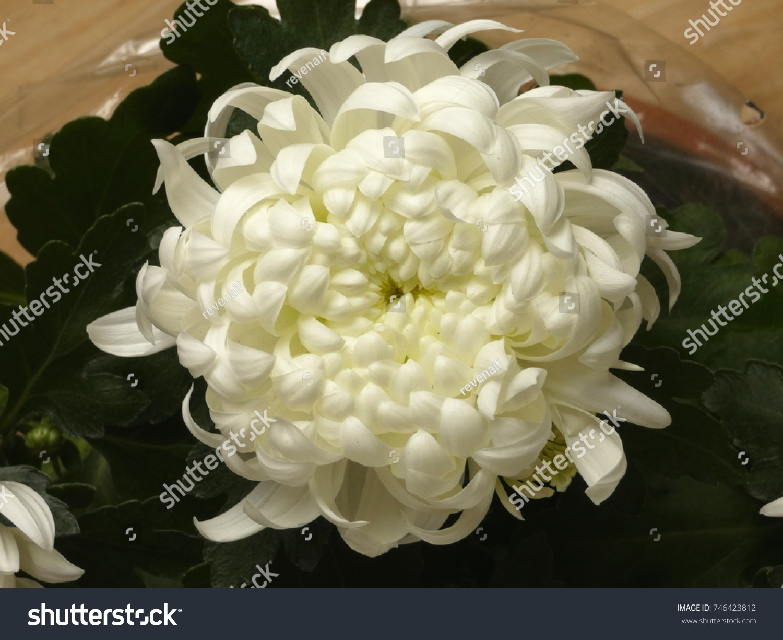 Chrysanthemum White Flower Chrysanths Mums On Stock Photo Edit Now