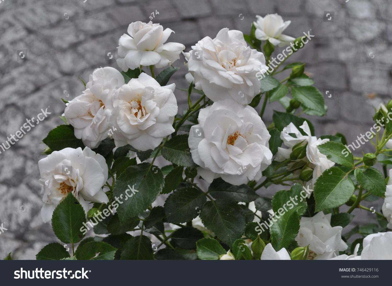 White Rose Perennial Shrub Genus Rosa Stock Photo (Royalty Free ...