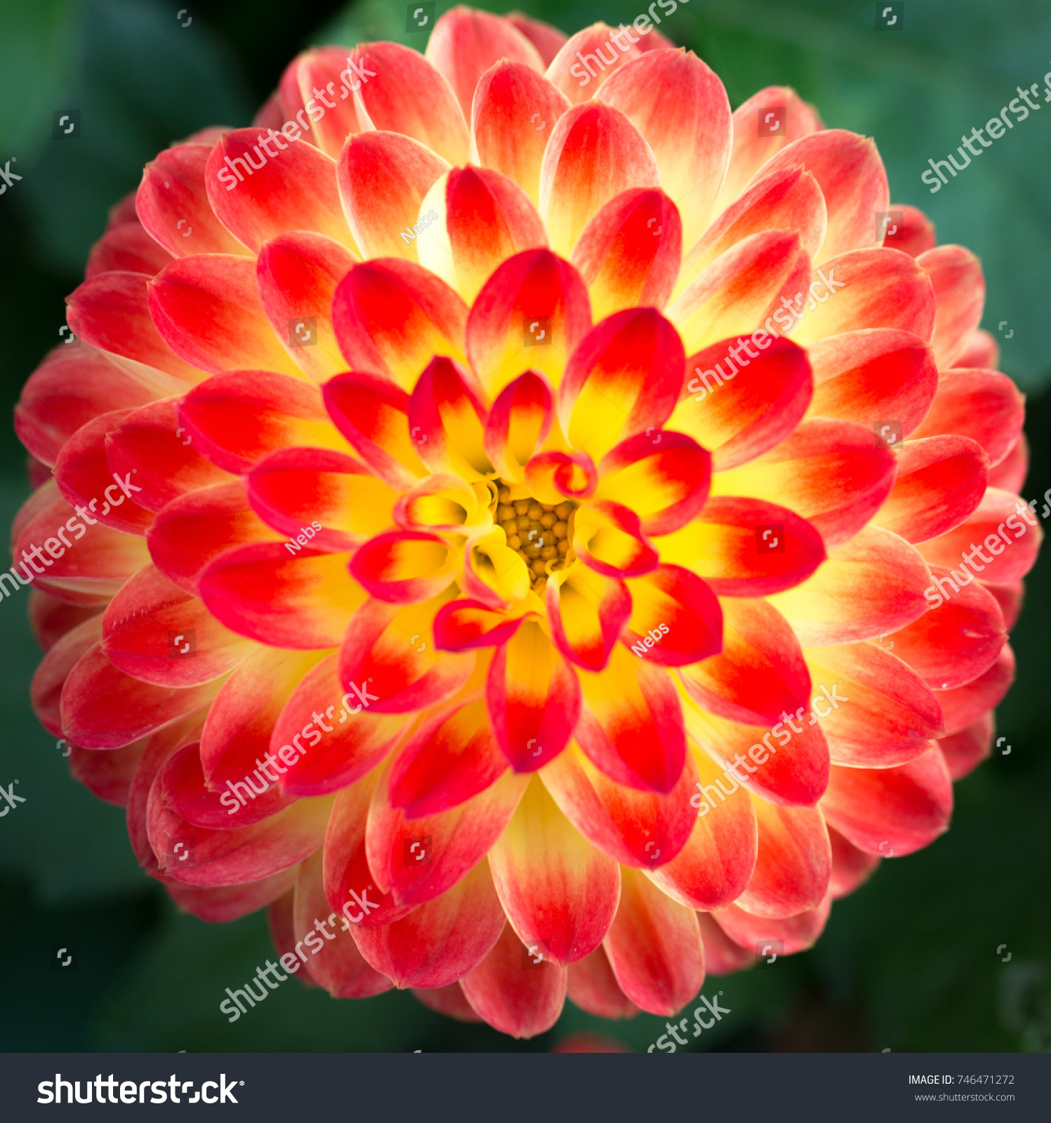 Single Dahlia Flower Bright Red Orange Stock Photo Edit Now
