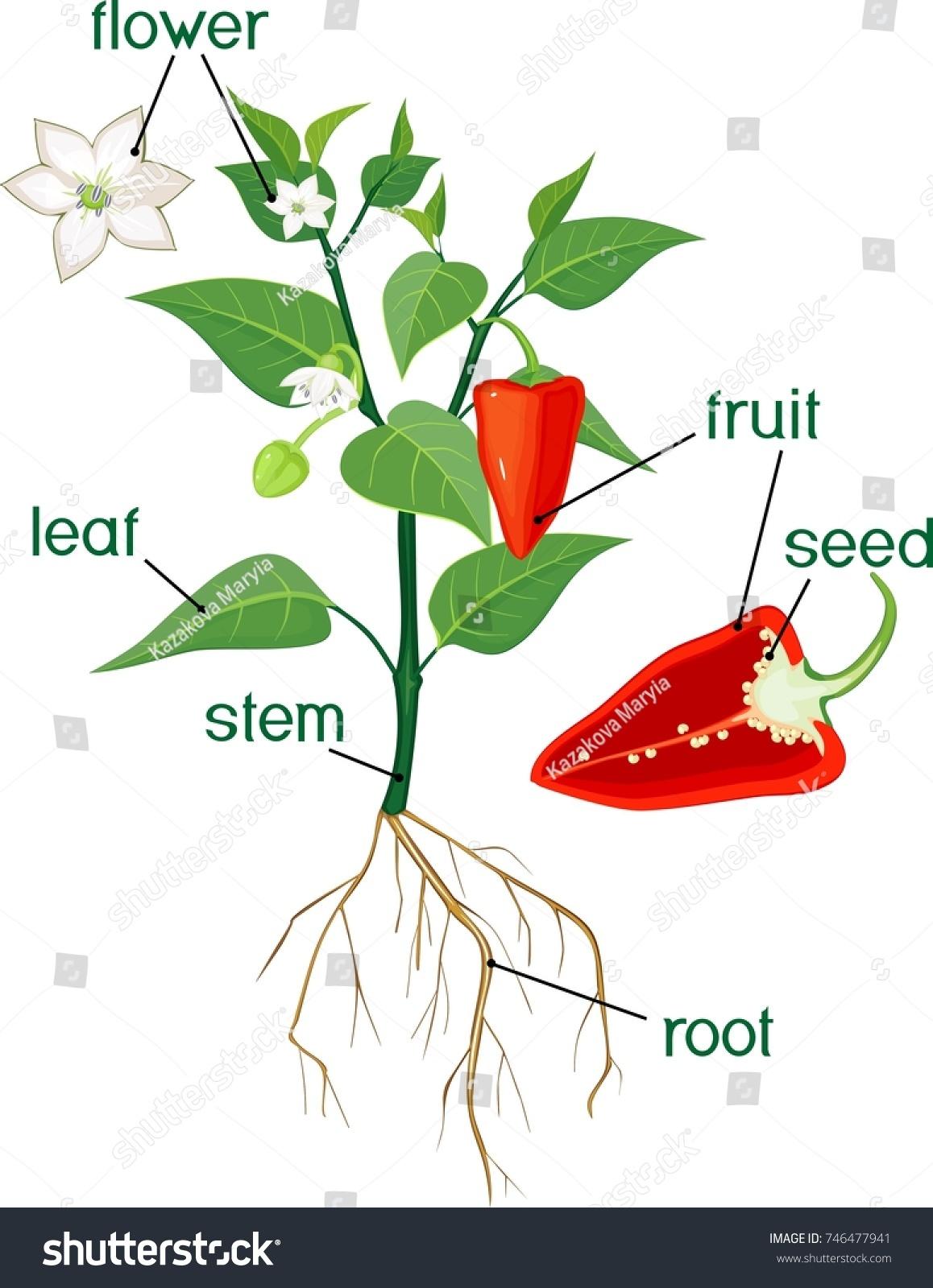 Parts Plant Morphology Flowering Bell Pepper Stock Vector 746477941