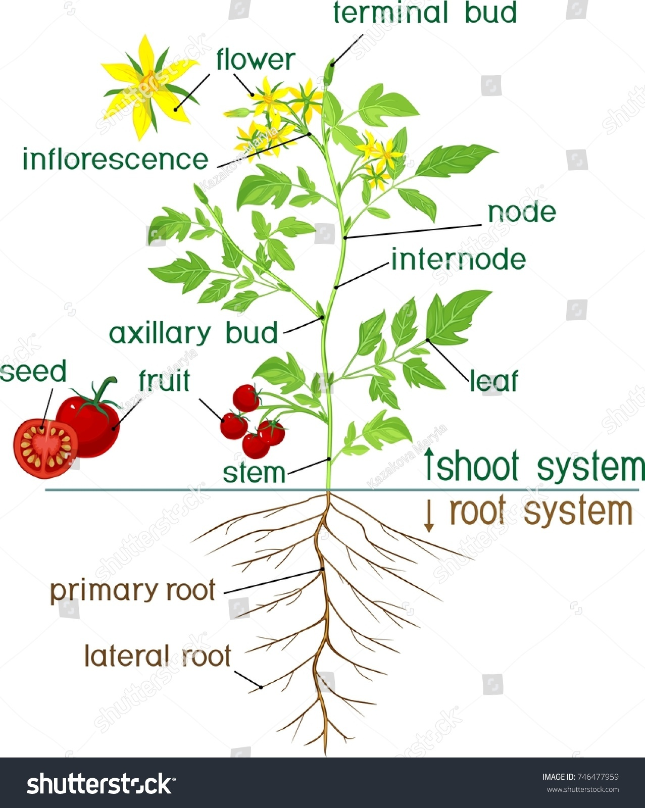 Parts plant morphology flowering tomato plant stock vector morphology of flowering tomato plant with title ccuart